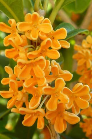 キンモクセイの香りのする季節に散歩するのは最高の人生